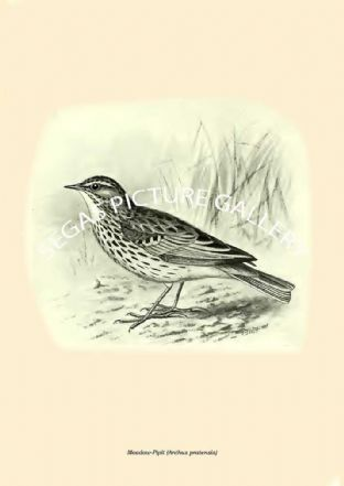 Meadow-Pipit (Anthus pratensis)